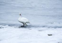 Łabędź na śniegu (pixabay.com)